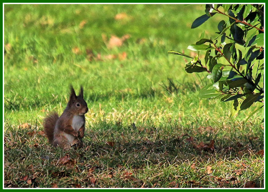 red-squirrel-2-jan-2016
